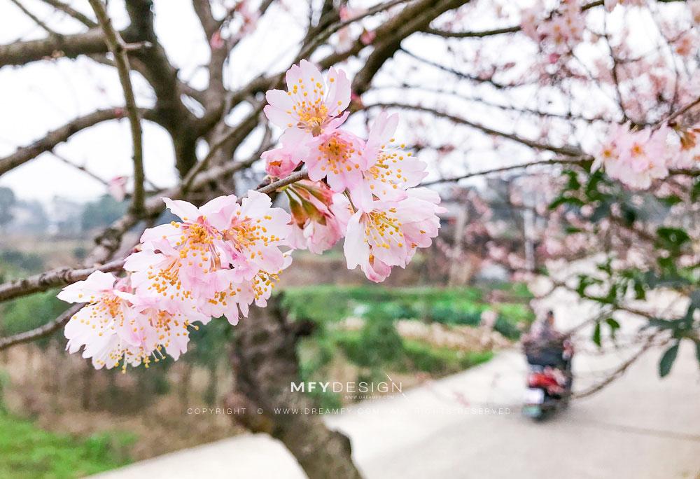 春 · 樱花